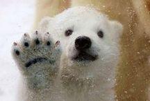 Animal: Polar Bear+ / by haganey