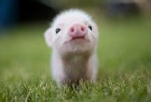 Piggin' Out