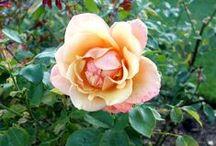 Розы Риджентс парка /  Beautiful roses of Regent's park in London