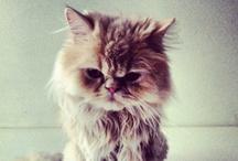 persian / my persian cat