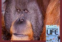 Orangutans / Como Zoo Orangutans