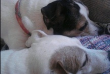 My Jack Russell terrier's & Friends / My babies!!!