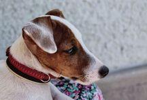 Sheldon JRT / Our beautiful puppy ❤️