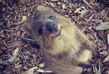 Quokkas / You will fall in love. They will want to kill you. Maybe.