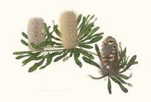Banksia / by Jan Allan