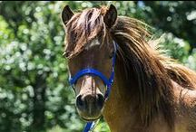 Everything Mini / Check out our full line of miniature horse tack! Everything from saddles to blankets and much more.