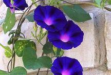 Petunia, powój morning glory