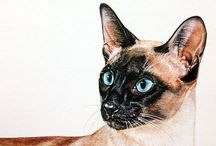 Love〰Just Siamese cats-Art〰