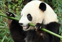 Bamboo / Bamboo has so many wonderful characteristics, from food, design, flooring ect.