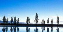 Beautiful Pine Trees / Studies