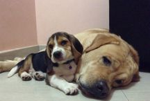 The Bosons! Thor Bolt Boson and Loki Hobbes Boson.                                 Beagle and Labrador / Beagles and Labrador