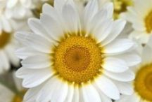 PLAY: SPITTING DAISIES / A one-act play for teens, 20's. A quirky, romantic drama. (1M, 1F)  Available on Amazon.com
