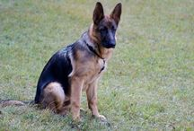 _german shepherd