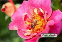 Roses Babylon Eyes / Garden Roses