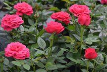 Roses / Pot Roses
