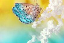 Pillangók / Általánosságban a pillangók a legnagyobb és leglátványosabb nappali lepkék.  Vajon ugyanaz-e a kettő, vagy lehet valami eltérés? Általánosságban az emberek többsége úgy gondolja, a két szó szinonimája egymásnak, s köztük semmi különbség nincs.