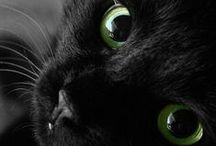 Black Cats / Black cats are less likely to be adopted than other colored cats due to superstition and their inability to stand out in shelters and photos. Consider adopting a black cat this August 17th as we celebrate Black Cat Appreciation Day!