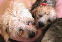 Dandie Dinmont Terrier / Ziggy the Dandie Dinmont Terrier