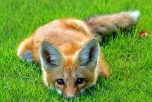 Fox :) <3