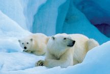 Beautiful Arctic / Polar bears are the dominant land animal in the Arctic they can weigh up to 1,600 lbs & can measure 6 to 10 feet tall.The average life is 30 years for these beautiful animals....