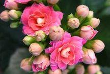 Desert Rose / Please pin politely