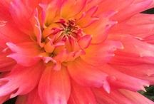 Fantastic Annuals / I love annuals in the landscape and garden, nothing gives you a better splash of color all summer long.