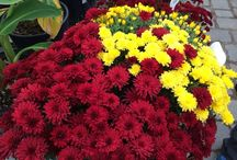 Garden Centre Photos and Videos / Our family owned garden centre is located 1.5 km west of Lorette, Manitoba.  We produce locally grown annuals, perennials, trees and shrubs.  Would like to share some photos of the garden centre, plant production, special project and much more.