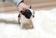 french bulldogs. / the names of the puppies for my french bulldog army.  / by margot gaines