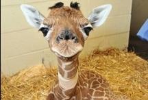 ~ Giraffes ~