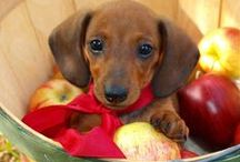 Darling Doxies / I adore my two darling miniature dachshunds, and I share the love on this board! #dachshunds #doxies