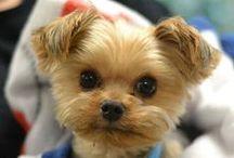 Yorkshire Terrier / Yorkshire Terrier