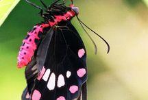 Lepidopterae/Arthropodae