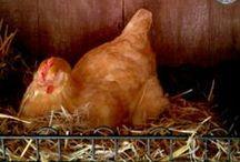 Chicken chicken chicken / by Christie Aubel