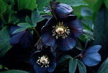 Flowers / Flowers, dark roses, lilies... Fleurs...
