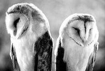 Owl / Owls, chouettes, hiboux...