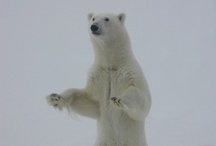 Arctic: Polar Bears  / No greenlandic artist without pieces of the gorgeous, but threathened white bear...