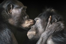 LIFE Bonobo! Cousins, brothers, sisters... / Bonobos share 99% of our genetic makeup. But humans' closest relative is still facing extinction.  Bonobos LIVE what we pray: peace and love, their life is our lost paradise...