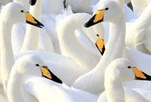 Arctic: birds / My research needs cover animals that live in Greenland, but can be found around the arctic circle.