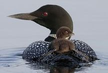 Arctic: Common Loon, Greenland / Common Loon! Spectacular bird I grew up hearing their call! Have used them in my art several times. Some shamans in old Greenland used a stuffed Loon placed on the roof of his turf hut - to warn against feins approaching his home! Other magic use for this bird too.