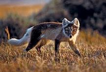 Arctic fox/Greenland