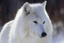 Arctic: Polar/white wolf / a wonderful and powerful animal...herder og the reindeers