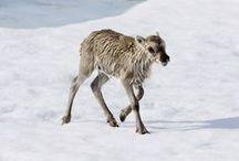 Arctic: Reindeer/ren/Greenland