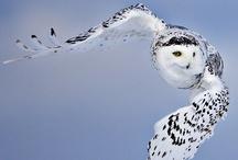 Arctic: Snowy Owl /Greenland