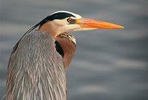 LIFE: Cranes, Egrets, Herons