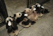 panda love / pandamonium   / by Christina Burleson