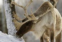 Arctic: Reindeer, not greenlandic