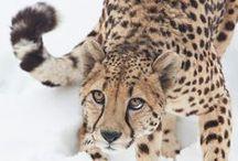 LIFE cheetah