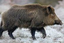 LIFE Boar, pig, swine, hog / A wonderful, intelligent and sensible animal, that is kept in millions in awful conditions on the most danish industrial, conventional farms. Only a few danish pigs live happily on organic farms or by private people. The industrial farming pollutes our ground/drinking water and uses GMO-soya, and overfills the poor pork with antibiotics.