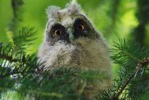 Owls ~ Baglyok
