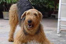 Airedale / by AnAiredaleAdventure